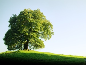 just_a_green_tree_wallpaper_1920x1440